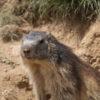 REnouveau la marmottes